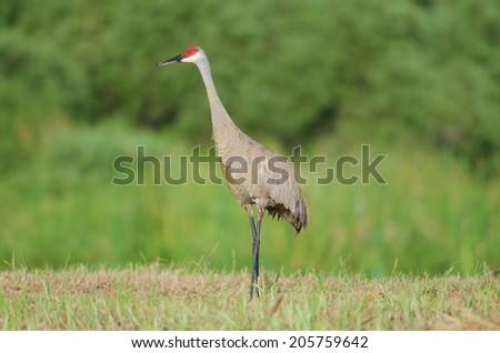 A Sandhill Crane standing tall in southwest Florida marshland - stock photo