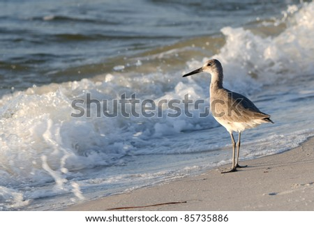 A Sandpiper on the Gulf Coast. - stock photo
