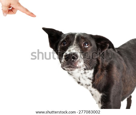 A scared Australian Shepherd Mixed Breed Dog looking up at his owner scolding him and pointing a finger
