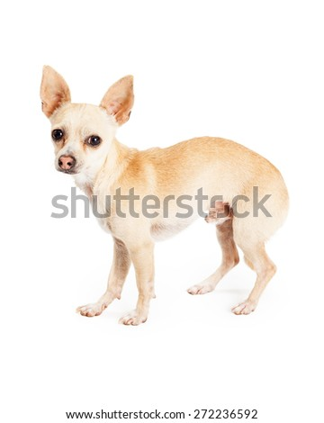 A scared looking Chihuahua Dog standing at an angle with a full body profile. Dog is looking into the camera.
