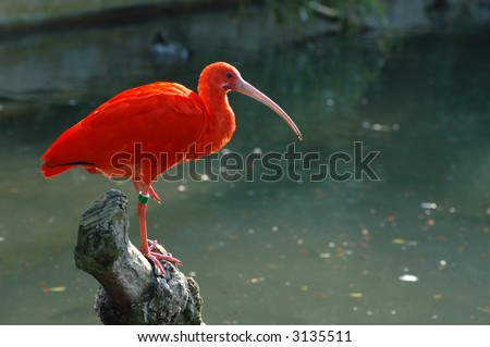 A Scarlet Ibis on a trunk - very, very red ! - stock photo