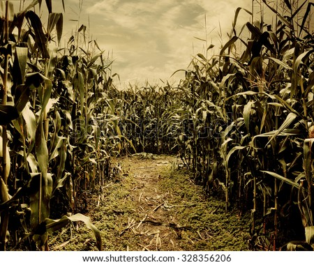 A scary corn field halloween background for a horror theme concept. - stock photo