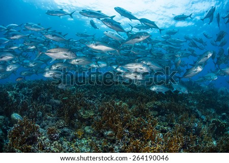 A school of Big eye jacks (Caranx sexfasciatus) swims over a coral reef in the Solomon Islands.  - stock photo