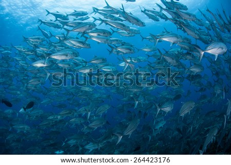 A school of Big eye jacks (Caranx sexfasciatus) swims over a coral reef in the Solomon Islands. This area is known for its great marine biodiversity. It offers beautiful diving and snorkeling. - stock photo