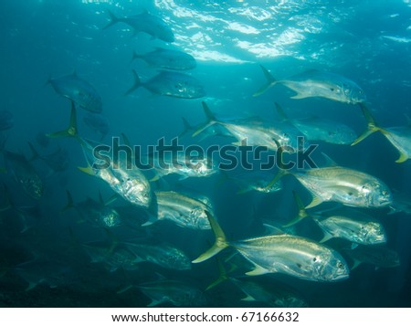 A school of Crevalle Jacks-Caranx hippos, picture taken under the Blue Heron Bridge in the intercoastal waterway of Palm Beach County, Florida. - stock photo