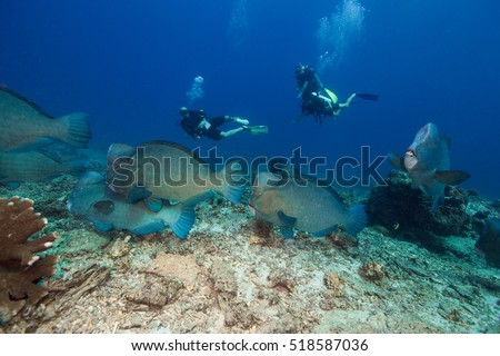 A school of Humphead parrotfish swimming over broken coral at the reef