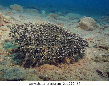 A school of juvenile striped eel catfish (Plotosus lineatus) on sand - stock photo