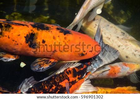 ... tetra swarm thayeria boehlkei blackline penguinfish aquarium fish