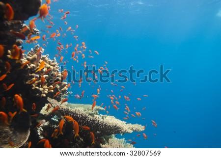 A school of Lyretail anthias (Pseudanthias squamipinnis) over a coral reef. Red Sea, Egypt. - stock photo