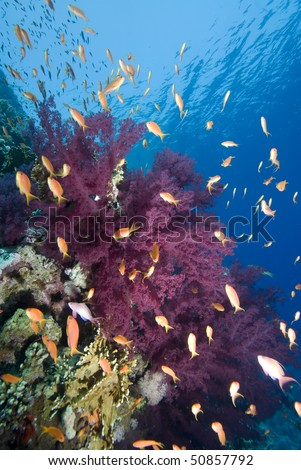 A school of Lyretail anthias (Pseudanthias squamipinnis) over a coral reef. Red Sea, Egypt.