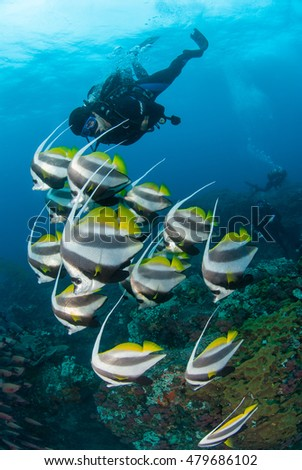 A school of pennant coral fish swimming alongside a scuba diver