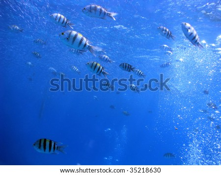 A school of Sergeant major fish
