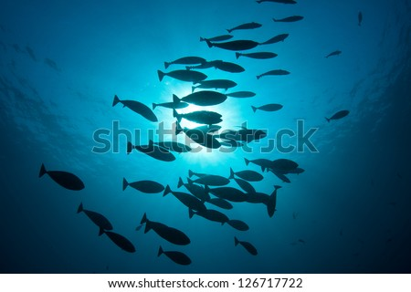 A school of Sleek unicorn fish (Naso hex acanthus) swim above a coral reef near Komodo, Indonesia.  These fish are found throughout the Indo-Pacific region. - stock photo