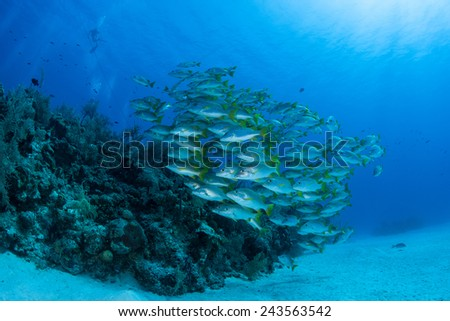A school of snapper swims over a reef in the Caribbean Sea. Snapper are one of the more common fish found throughout the region. - stock photo