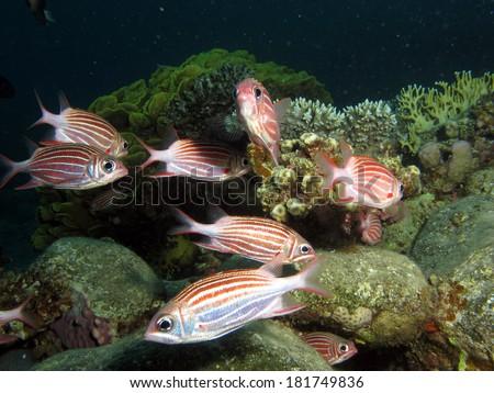 A school of striped crown squirrelfish (Sargocentron diadema) - stock photo