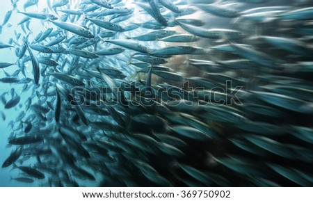A school of Topsmelt in the kelp forests of Catalina Island, California. - stock photo