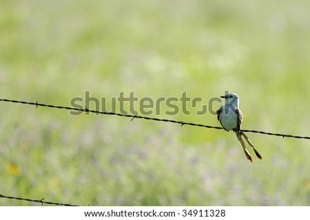 A scissor-tailed flycatcher perched on barbed wire from the great plains of central Kansas. - stock photo