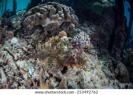 A scorpionfish (Scorpaeonopsis sp.) uses effective camouflage to hide on the seafloor of Raja Ampat, Indonesia. This area, within the Coral Triangle, harbors an extraordinary amount of reef life. - stock photo
