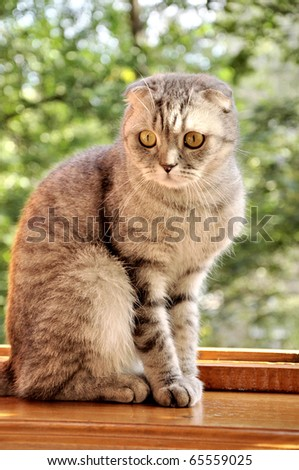 A scotch lop-eared cat sitting on a window-sill - stock photo