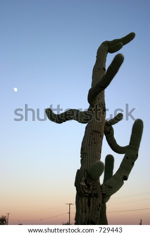 a scraggly old Saguaro Cactus at sunset in the arizona desert with the moon in the sky