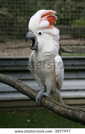 A screeching moluccan cockatoo (also known as a salmon breasted cockatoo). - stock photo