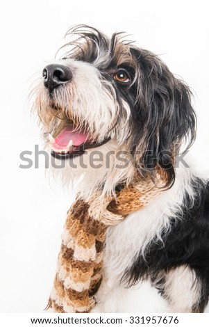 A scruffy poodle - terrier mix dog wearing a shawl - stock photo