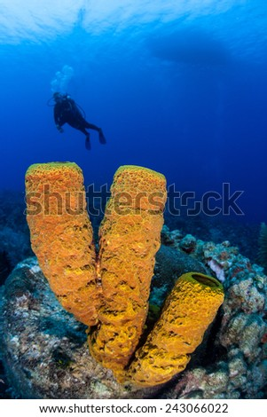 A scuba diver hovers above a coral reef growing near the island of Grand Cayman. Colorful tube sponges are common animals found on Caribbean reefs. - stock photo