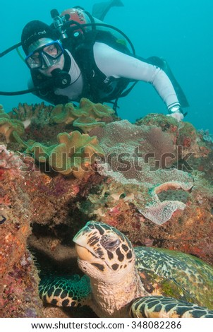 A SCUBA diver investigating a calm hawksbill sea turtle relaxing and eating from a coral reef - stock photo