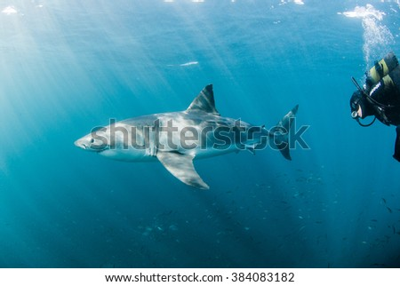 A scuba diver swimming alongside a friendly great white shark - stock photo