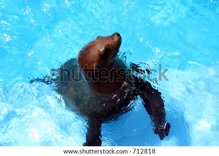 A sea lion comes up for food.
