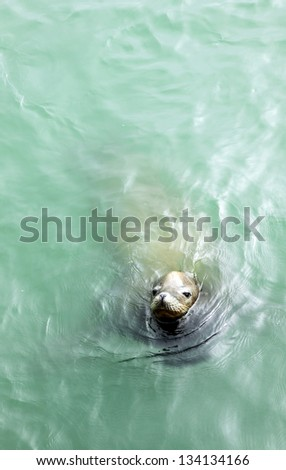 A sea lion is swimming in the sea - stock photo