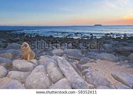 a sea lion pup looks in the camera at sunset, galapagos - stock photo