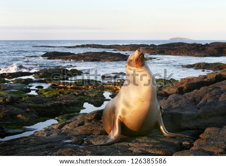 A Sea Lion rests on the rocky shoreline of the Galapagos Islands - stock photo