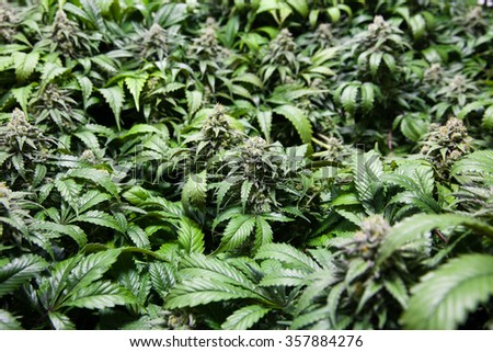 A sea of green marijuana plants and buds. THC crystals clearly visible - stock photo