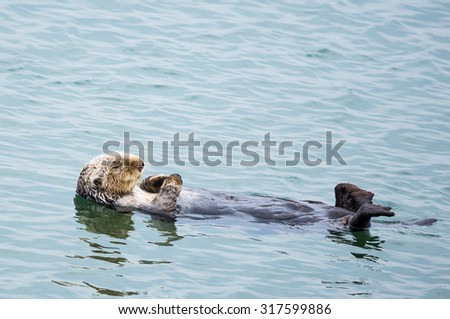 A sea otter floating on water - stock photo