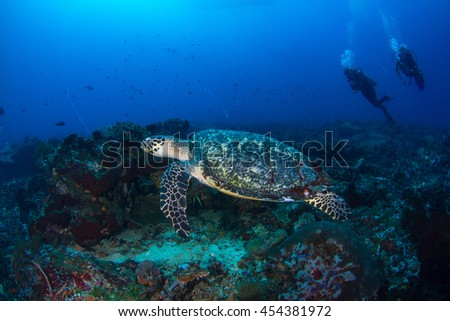 A sea turtle (Hawksbill sea turtle) with the broken shell, swimming across the reef. Healthy reefs of Nusa Penida, Indonesia. - stock photo