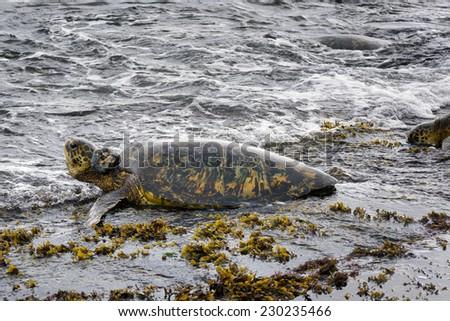 a sea turtle on the shore on the island of Oahu, Hawaii - stock photo