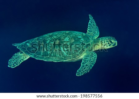A sea Turtle portrait close up while looking at you and swimming in the deep blue ocean - stock photo
