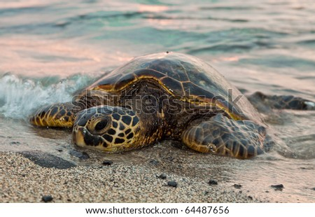 A sea turtle rests ont he sands as waves wash over him - stock photo