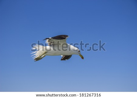 A seagull flying against the backdrop of a blue sky - stock photo