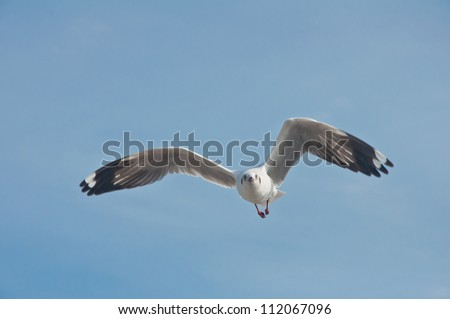A seagull flying in the blue sky at Bang Pu beach. - stock photo