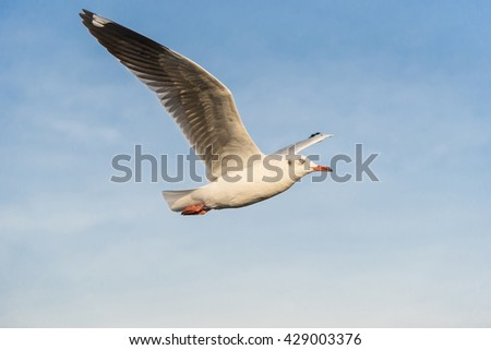 A Seagull is flying wingspan from left to the right with Yellow evening light tone in the blue sky with clouds. - stock photo