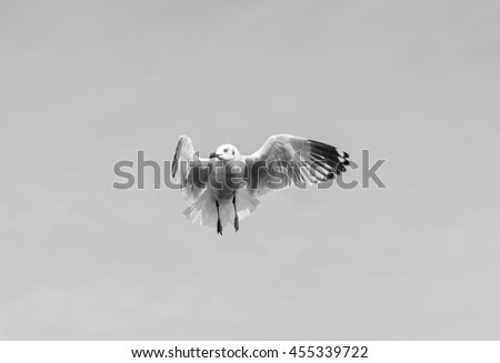 A Seagull is stunningly waiting for Food in the Air in Black and White Tone for Backgrounds. - stock photo