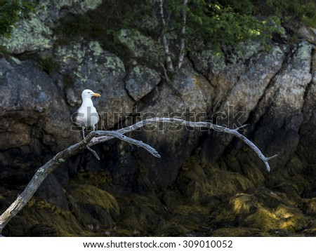 A seagull perched on old branch along rocky coast of Maine. - stock photo