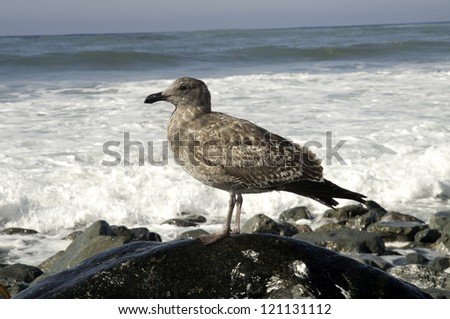 A seagull perches on a rock and watches the ocean. - stock photo