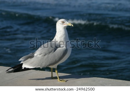 A seagull sitting near the edge of the ocean in Florida, USA. - stock photo