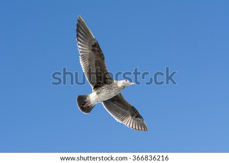 A seagull spreads its wings as it glides effortlessly through a blue sky - stock photo