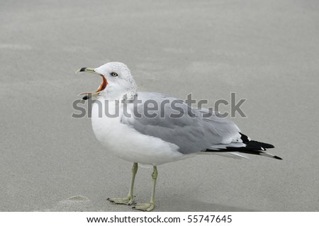 A seagull with it's mouth open calling.