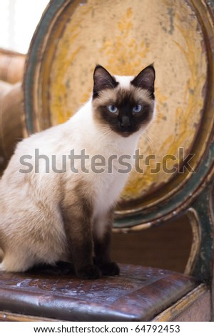 A Seal Point Siamese cat sitting on a rustic chair and looking at the camera. - stock photo