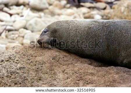 A seal relaxes on the rocks at Herbertville in the Wairarapa on the East Coast of the North Island in New Zealand.